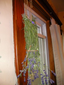 My first batch of drying lavender