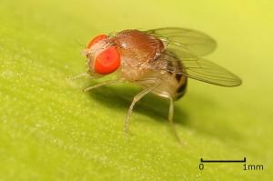 filedrosophila